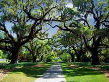 Magnificent Live Oaks at Brookgreen Gardens